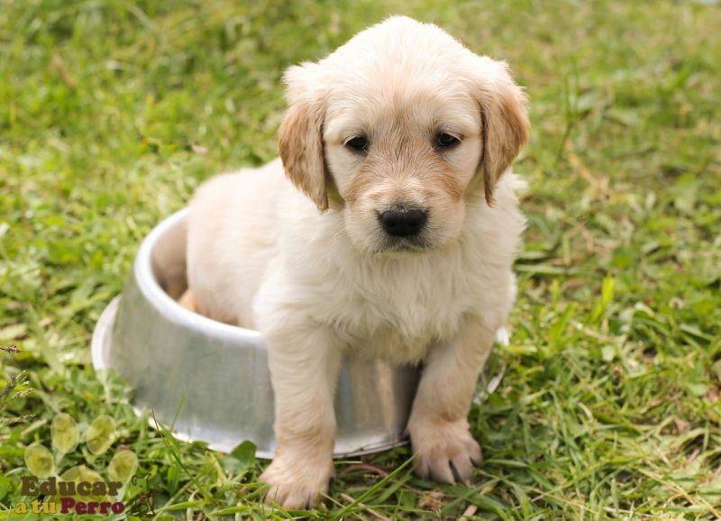 Cómo Adiestrar al perro o Cachorro